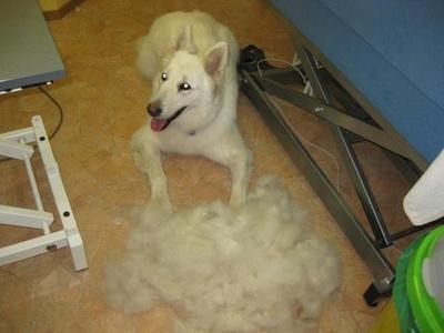 Weißer Schäferhund gecardet