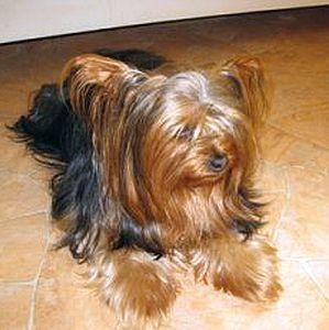 fell-issimo-schneiden-Yorkshire-Terrier