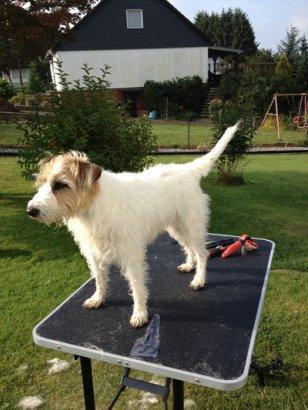 fell-issimo-trimmen-Parson-Jack-Russel-Terrier